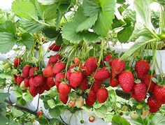 Strawberry Picking in Canada - Modern Design Strawberry Plant Care, Strawberry Bush, Strawberry Planters, Strawberry Picking, Strawberry Fields, Strawberry Garden, Elderberry Varieties, Nft Hydroponics, Growing Strawberries In Containers