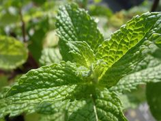 Best Culinary Herbs for your Shade Container Garden: common herbs that will grow well include Cilantro, Chives, Ginger, Mint, Oregano, Parsley and more.