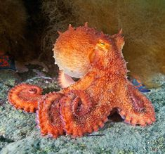 Friday Cephalopod! via pharyngula