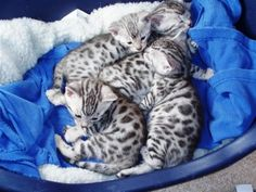 Silver Bengal Kittens