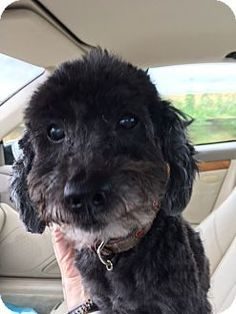 Pictures of Roussel a Poodle (Miniature) Mix for adoption in Dallas, TX who needs a loving home.