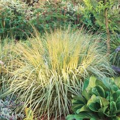 Molinia caerulea  [Purple Moorgrass. Mounding foliage . Brilliant gold in autumn. Works well in part shade or full sun; moist soil. Up to 5 feet tall.]
