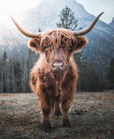 Highland Cow Art, Scottish Highland Cow, Highland Cattle, Highland Cow Tattoo, Baby Farm Animals, Baby Cows, Cute Animals, Cute Baby Cow, Cute Cows