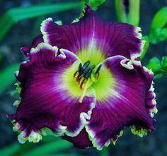 Daylily (Hemerocallis 'Violet Becomes You')