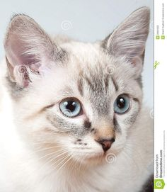 lilac point siamese - Google Search