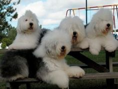 .Sheepdogs hangin' out! lol!