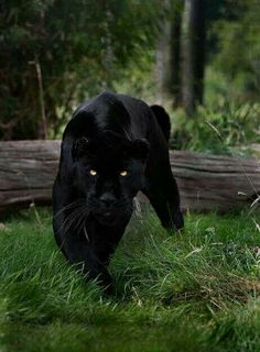 What a fabulous animal; the black panther, my favorite!