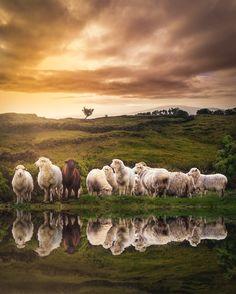 The black sheep by flavio_silva Flávio Silva / Farm Animals, Animals And Pets, Cute Animals, Foto Fun, Sheep Art, Counting Sheep, Sheep And Lamb, Cute Cows, Tier Fotos