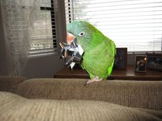 my Oz! blue crowned conure