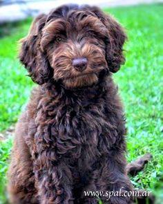Chocolatitos de Spal Golden Labradoodle, Goldendoodle, Labradoodles, Chocolate, Cute Puppies, Southern, Dogs, Animals, Doggies