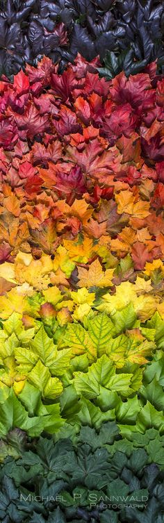 Not in Australia . . . . . . . . . . . . . . . .Photographer made a colour spectrum from Autumnal leaves