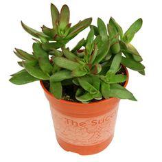 Crassula platyphylla