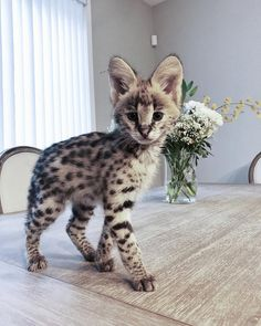 Funny Animal Of The Day - Cats so cute Gatos Serval, Serval Cats, Gatos Cats, Cute Cats And Kittens, Baby Cats, Kittens Cutest, Funny Kitties, Pretty Cats, Beautiful Cats