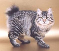 Kurilian Bobtail facts