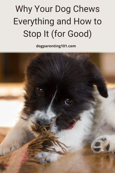 There are lots of reasons why a dog will chew, so before you can stop it you need to know why it's happening. #dogchewing #puppychewing #dogbehavior Dog Health Tips, Dog Health Care, Dog Training Tools, Animal Antics, Dog Hacks, Dog Chews, Dog Boarding, Dog Behavior, House