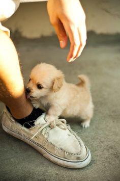 Perrito pequeño atacando a su dueño