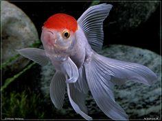 Red Cap Oranda with a beautiful tail