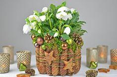 Weihnachts-,Winterdeko/How to-Christrose, Weihnachtsstern dekorieren/fes...