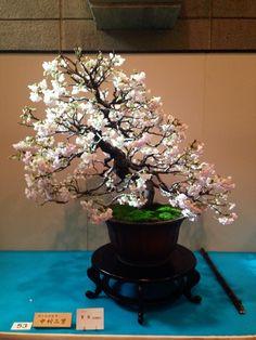 寒桜『国風盆栽展』