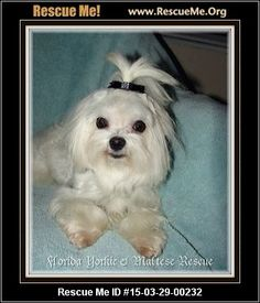 Rescue Me ID: 15-03-29-00232Timmy (male)  Maltese  Age: Young Adult  Compatibility:Good with Most Dogs, Good with Adults (Not Kids) Personality:Average Energy, Average Temperament Health:Neutered, Vaccinations Current  Timmy and Petal are a bonded pair of Malteses. we would prefer that they be adopted together. Introducing TIMMY. He is 4 years old and weighs 6.2 lbs. He has a very sweet personality and is very affectionate. Either he or his brother will be adopted separately…