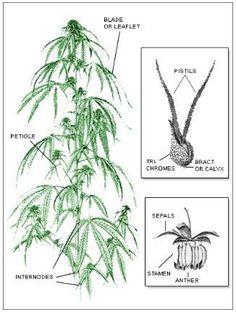 marijuana plants anatomy and plants on pinterest : marijuana plant diagram - findchart.co