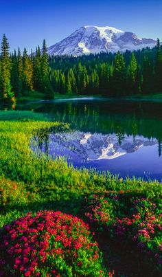 Mt. Rainier and red heather at Reflection Lakes in Mount Rainier NationalPark, Washington