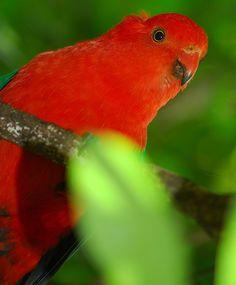 King parrot by Stewart Macdonald, via Flickr , Lamington National Park Brisbane Qld. Australia Beautiful Park, Beautiful Birds, Western Australia, Australia Travel, Colourful Birds, Australian Birds, Pretty Birds, Sunflower Seeds, Aussies