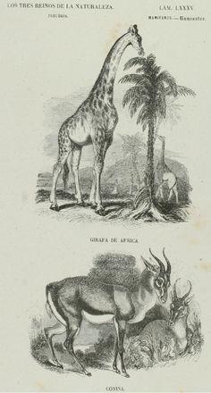 Lámina 85.  Buffon: Los tres Reinos de la Naturaleza. Zoología. Mamiferos. Rumiantes. Jirafa. Corina.