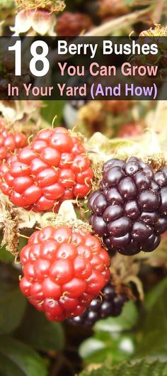 Anytime you have the opportunity to get food from nature instead of the store, you should take advantage, and berry bushes are easy to grow and maintain. #beginnergardening