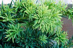Find help & information on Taxus baccata 'Fastigiata Aureomarginata' (m/v) golden Irish yew from the RHS