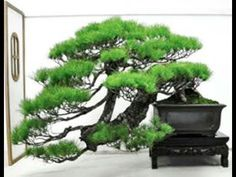 DISCOVER    BONSAI    BEAUTY