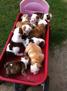 The major breeds of bulldogs are English bulldog, American bulldog, and French bulldog. The bulldog has a broad shoulder which matches with the head. Bulldog Puppies, Cute Puppies, Cute Dogs, Dogs And Puppies, Doggies, Animals And Pets, Baby Animals, Funny Animals, Cute Animals