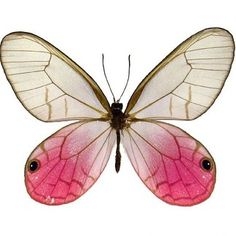 buy butterflies that were raised on different butterfly farms around the world. The Butterfly Company has unmounted unspread butterflies for sale. Butterfly Gifts, Butterfly House, Butterfly Art, Beautiful Bugs, Beautiful Butterflies, Cool Insects, Gossamer Wings, Butterfly Pictures, Butterfly Watercolor