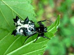 Bug Pictures: Spined Micrathena Spider (Micrathena gracilis) by ...