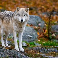 Arctic Wolf - SAVE THE WOLVES