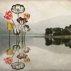 Still Waters run deep - Designed for the #createarthistory challenge with State Library Victoria. Inspired by the beautiful botanical images I've created this digital collage using Robert Thornton's beautiful painting of Tulips combined with layers including a photograph I took of Buttermere lake in the Lake district. I love the reflections and played with the scale of the trees, mountains and tulips.