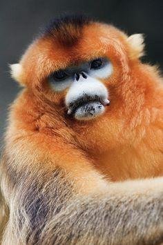 ✮ China, Shaanxi Province, Golden Monkey (rhinopithecus Roxellana )