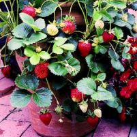 Growing Strawberries (hints and tips to keep mine healthy=)