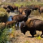 American Bison on Catalina Island