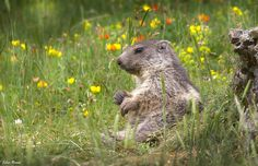 "Photograph Marmotte bucolique by Jean Luc Ronné on 500px ""bucolic marmot"""