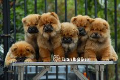The one laying day is done with picture day lol Fluffy Dogs, Fluffy Animals, Animals And Pets, Baby Animals, Cute Animals, Perros Chow Chow, Chow Chow Dogs, Puppy Chow, Best Puppies