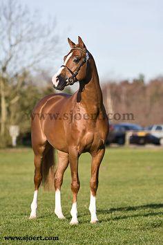 Dutch Welsh Riding Pony stallion Heidehof's Don Diego