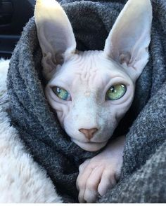 There are so many breeds of cats out there, but few are more eye-catching than hairless felines. Cats like the popular Sphynx claim devoted owners who love their unique looks. I Love Cats, Crazy Cats, Cool Cats, Cute Baby Animals, Animals And Pets, Funny Animals, American Bobtail, Gato Sphinx, Beautiful Cats