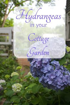 I just LOVE Hydrangeas! If you're considering a beautiful summer flowering shrub, consider adding Hydrangeas in your cottage Garden