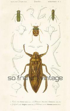 1861 Planche Originale Bélostome marbré Orbigny insectes aquatiques  Couleurs peintes main Histoire Naturelle