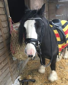 Love this picture sent in of Mimi in her LMe bridle  . Mimi is a 5 year old rescue pony owned by Caroline since she was a baby. Backed by Caroline she is in the rosettes in every outing (the LMe browband was actually won in a @dressage_anywhere class recently)
