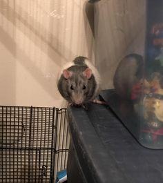 Kiwi is plotting something evil... and cute. #aww #cute #rat #cuterats #ratsofpinterest #cuddle #fluffy #animals #pets #bestfriend #ittssofluffy #boopthesnoot