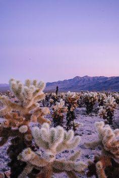 Rosa Sonnenuntergang bei Cholla Cactus Garden in Joshua Tree art garden indoor plants Desert Dream, Desert Life, San Diego, Palm Springs, Into The West, Pacific Coast Highway, Joshua Tree National Park, Pink Sunset, Parc National