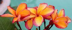 Toba's Fire Plumeria 'Mid Summer Color' | Flickr - Photo Sharing!