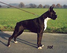 Boxer - 3rd gen: CH / SchH 1 Grazia del Colle dell'Infinito Flashy Reverse Brindle Italy 1989